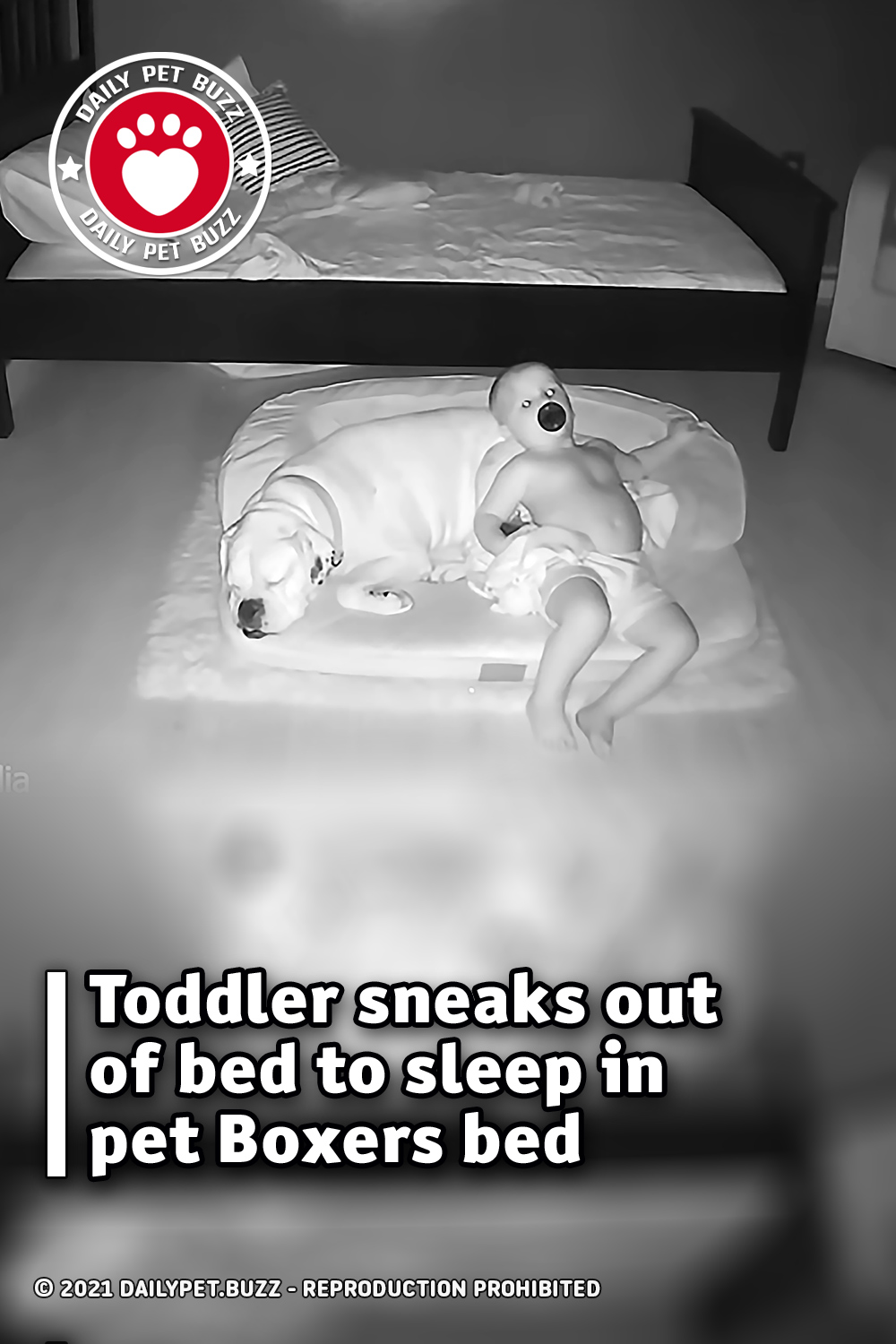Toddler sneaks out of bed to sleep in pet Boxers bed