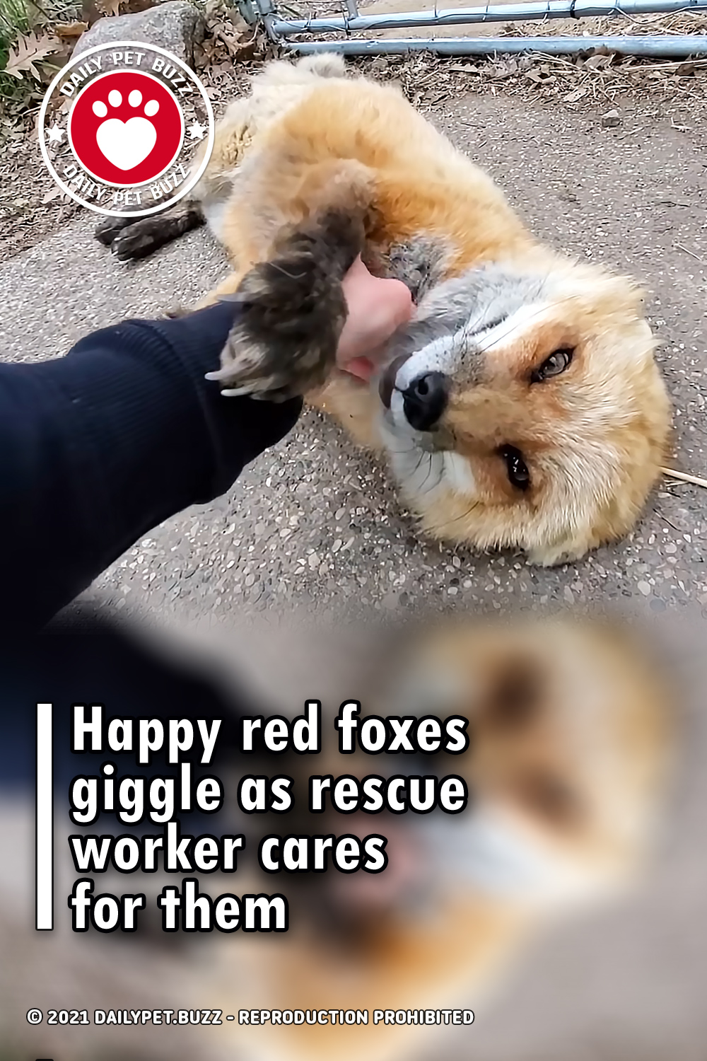 Happy red foxes giggle as rescue worker cares for them