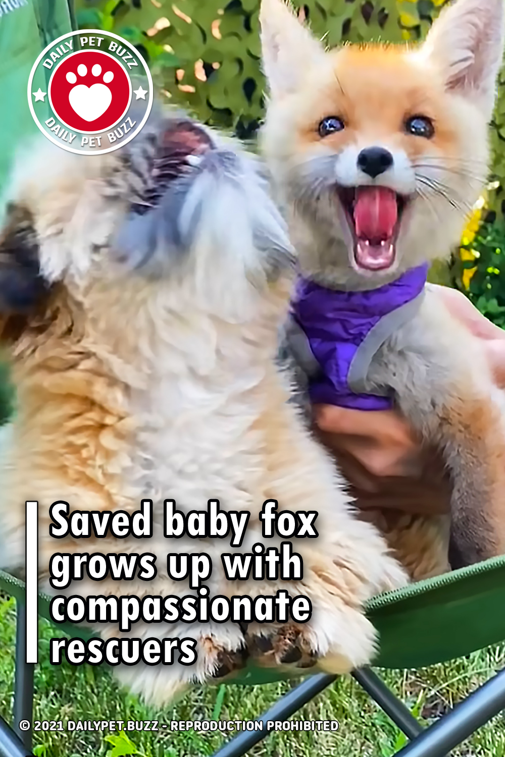 Saved baby fox grows up with compassionate rescuers