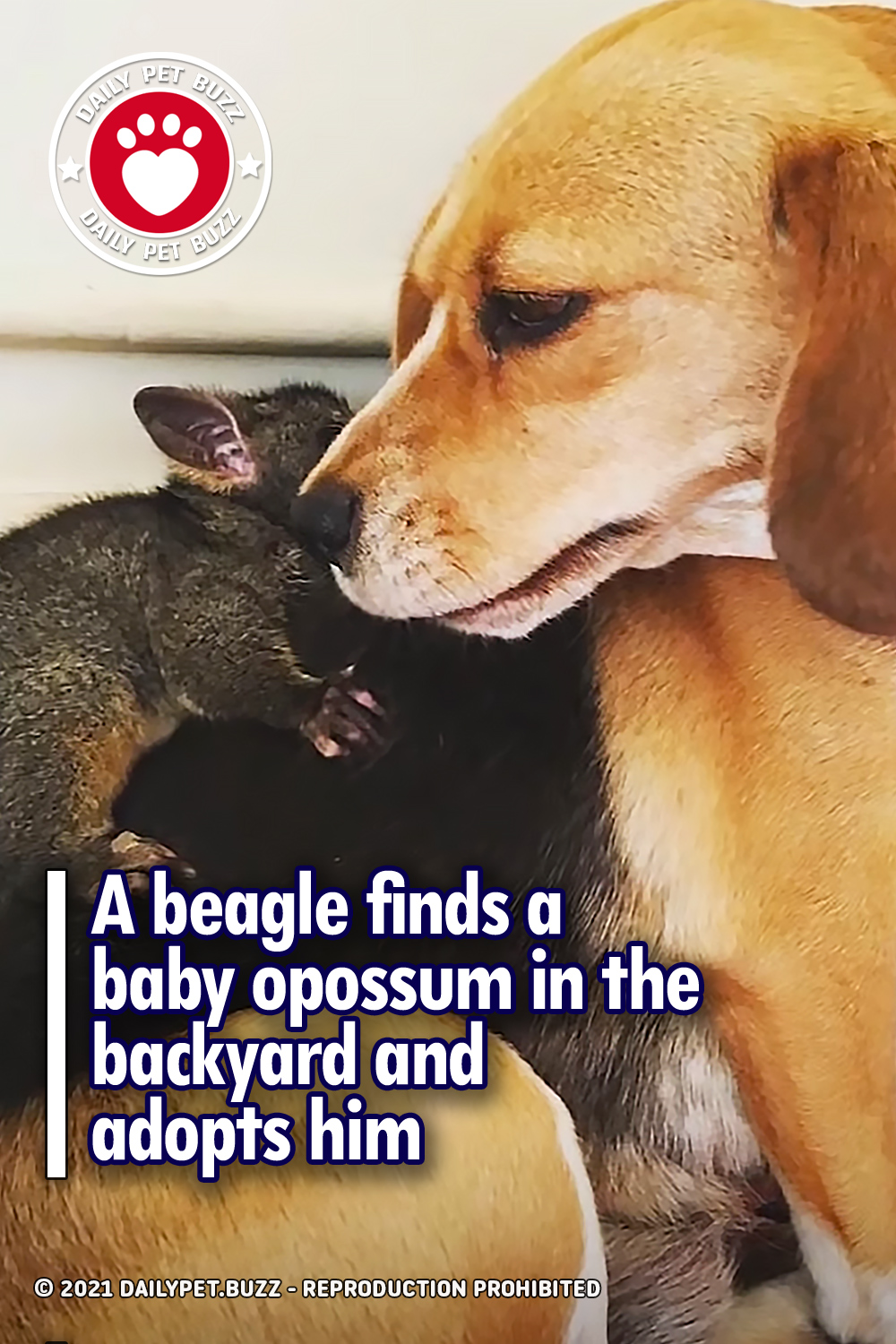 A beagle finds a baby opossum in the backyard and adopts him