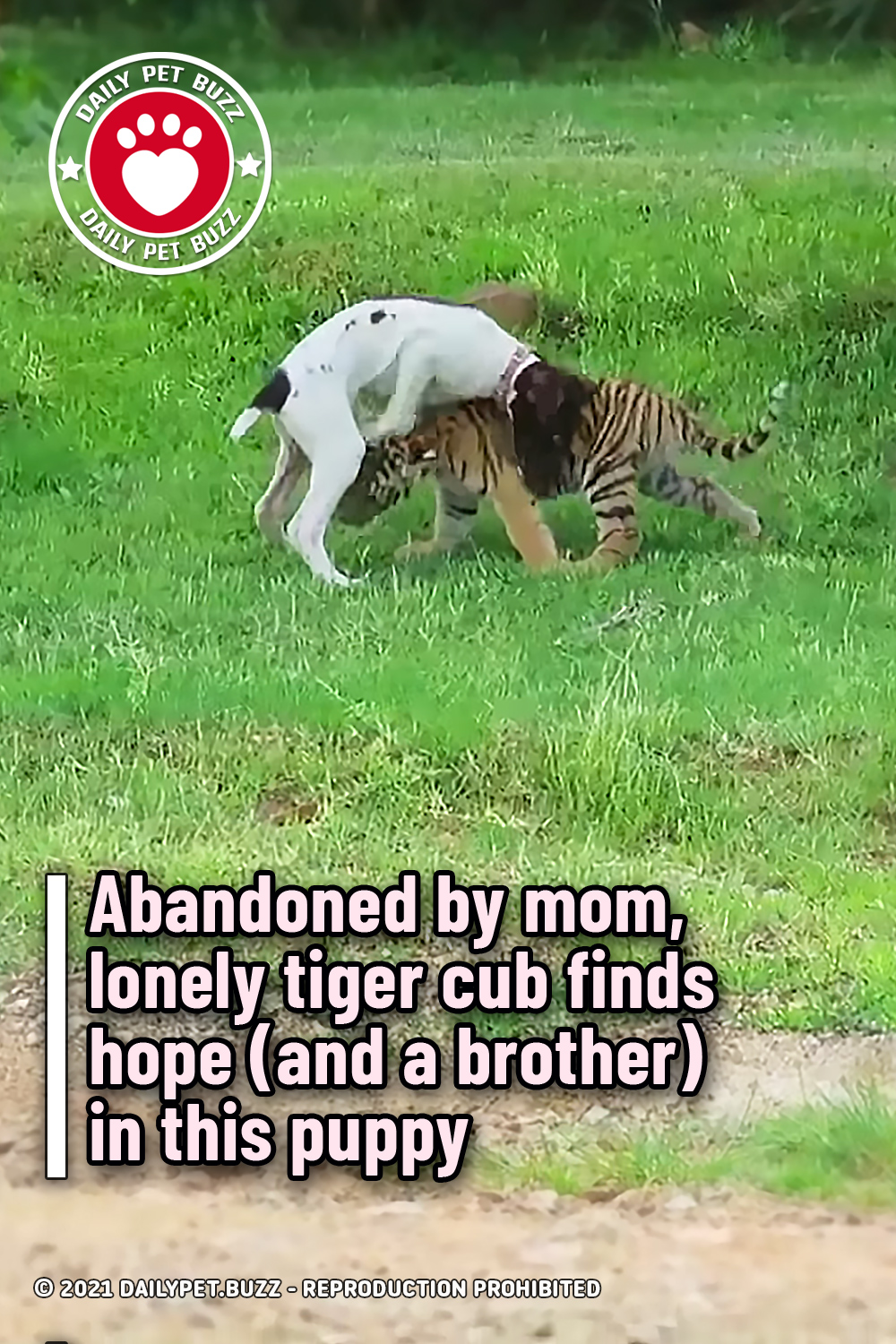Abandoned by mom, lonely tiger cub finds hope (and a brother) in this puppy