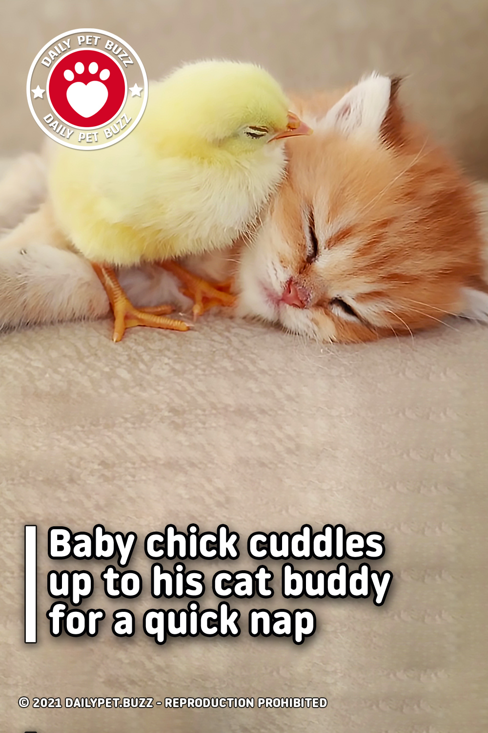 Baby chick cuddles up to his cat buddy for a quick nap