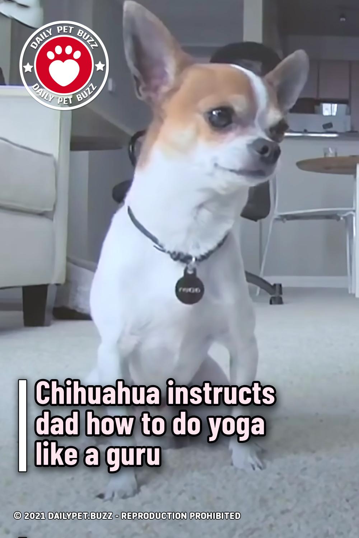 Chihuahua instructs dad how to do yoga like a guru