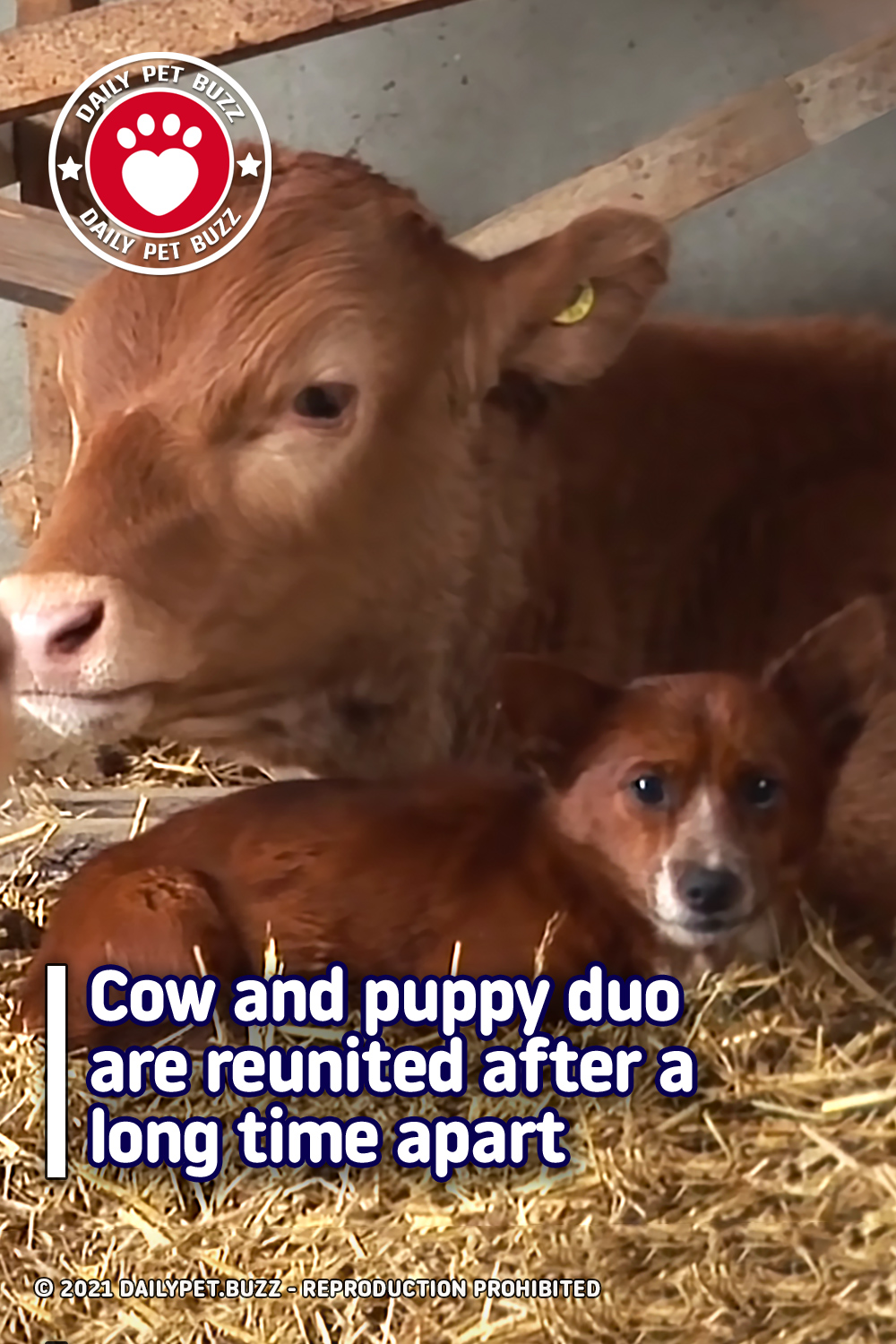 Cow and puppy duo are reunited after a long time apart