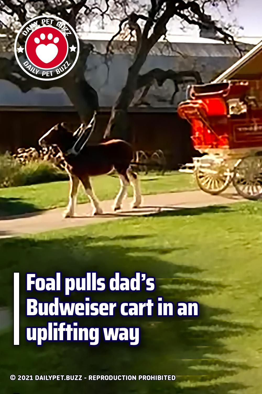 Foal pulls dad's Budweiser cart in an uplifting way