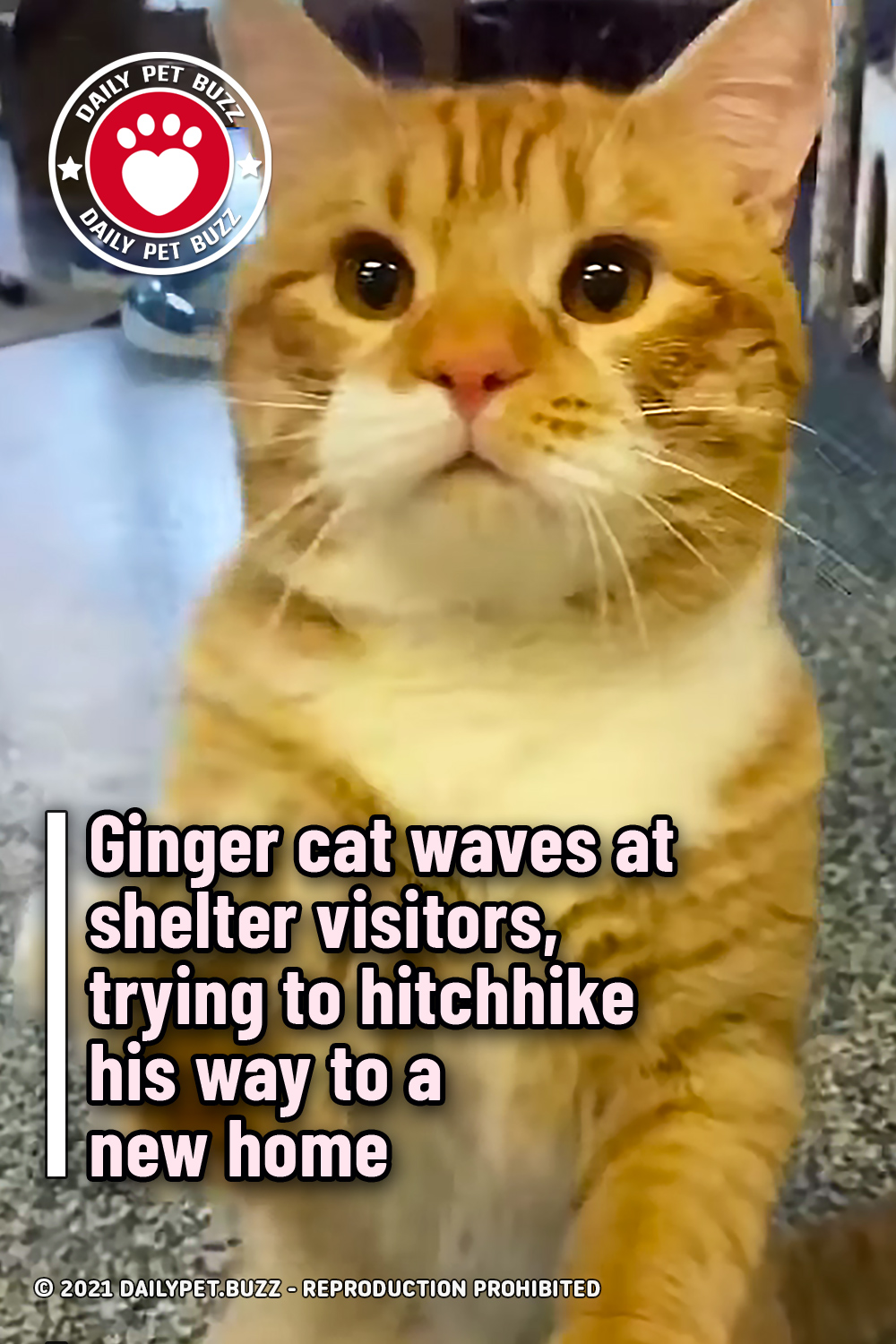 Ginger cat waves at shelter visitors, trying to hitchhike his way to a new home