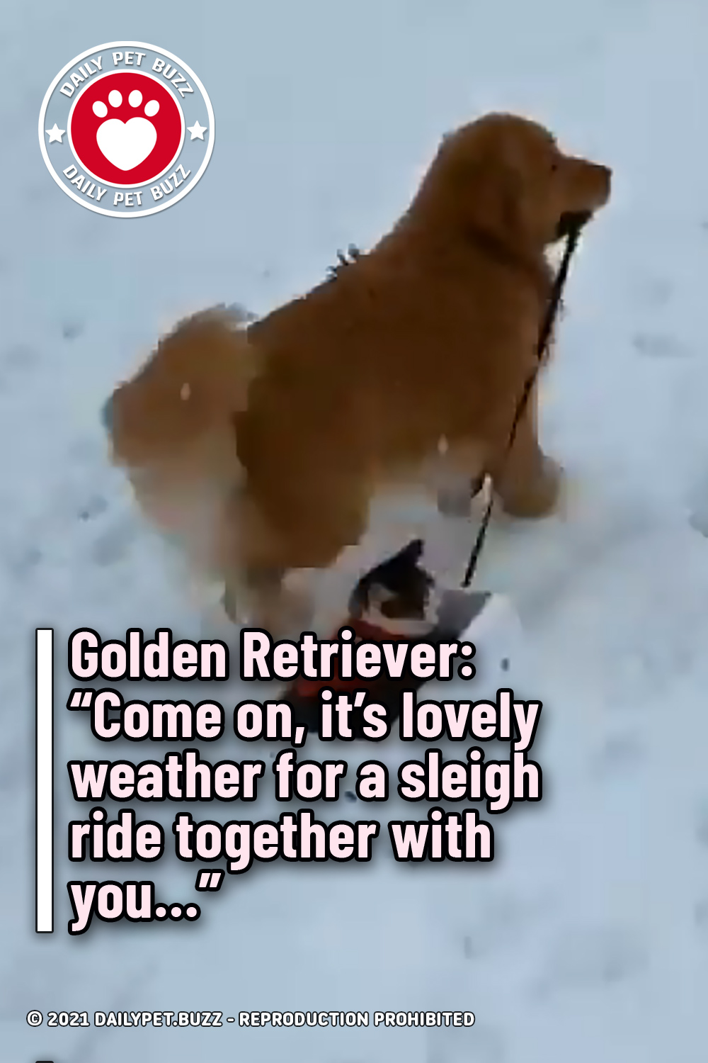 """Golden Retriever: """"Come on, it\'s lovely weather for a sleigh ride together with you…"""""""