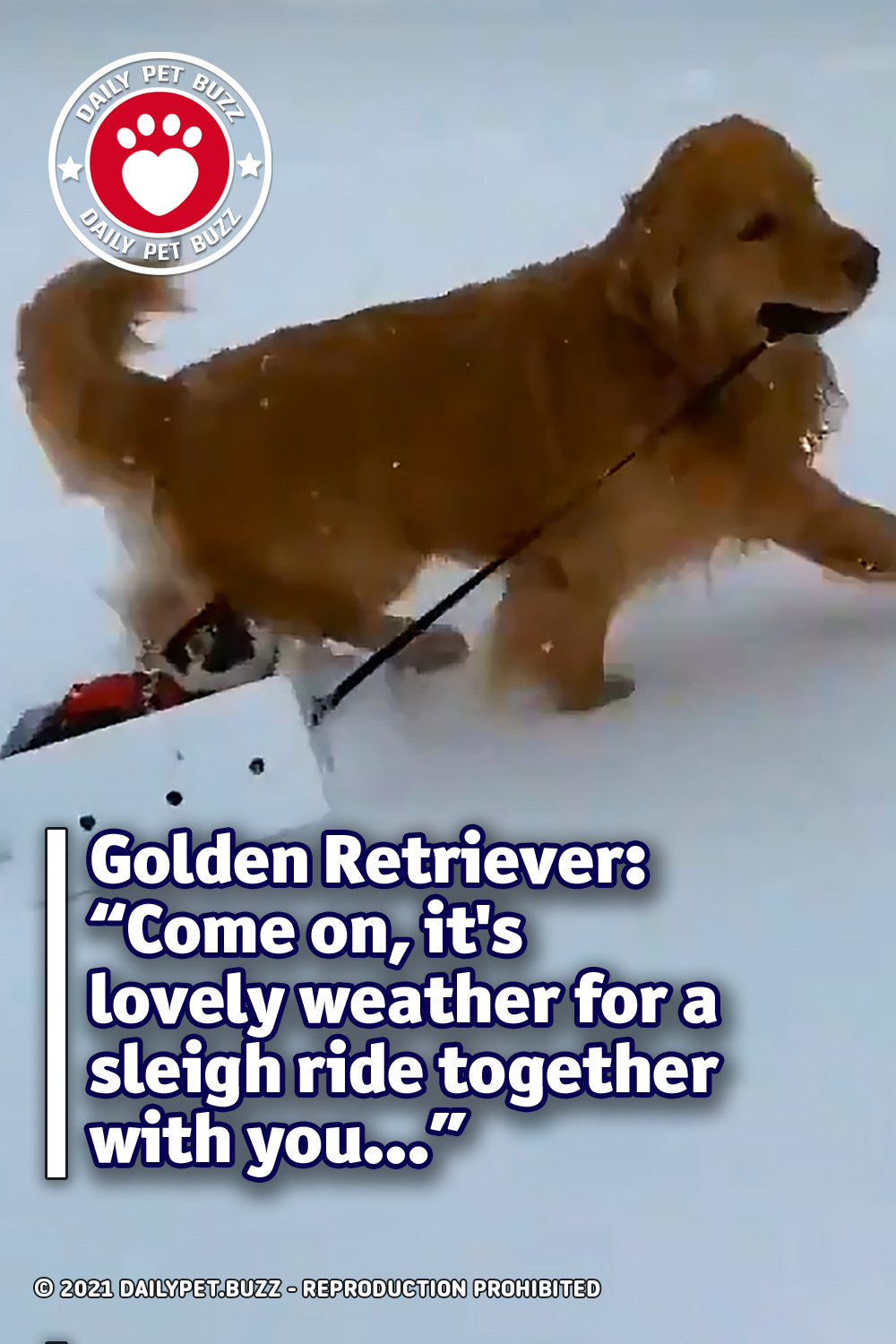 "Golden Retriever: ""Come on, it\'s lovely weather for a sleigh ride together with you…"""