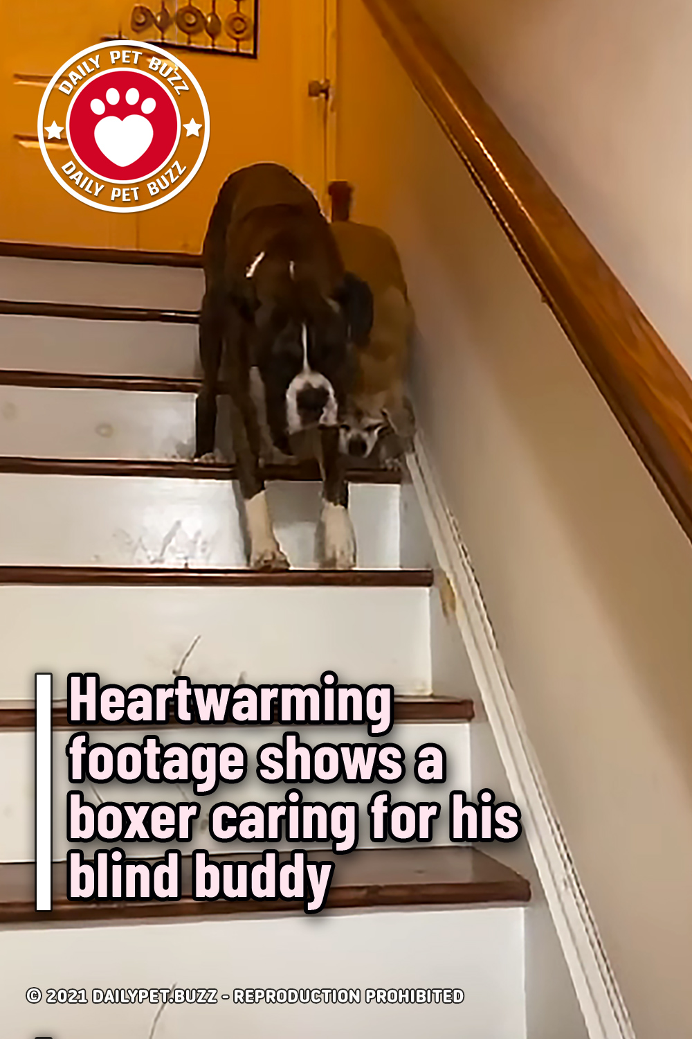 Heartwarming footage shows a boxer caring for his blind buddy