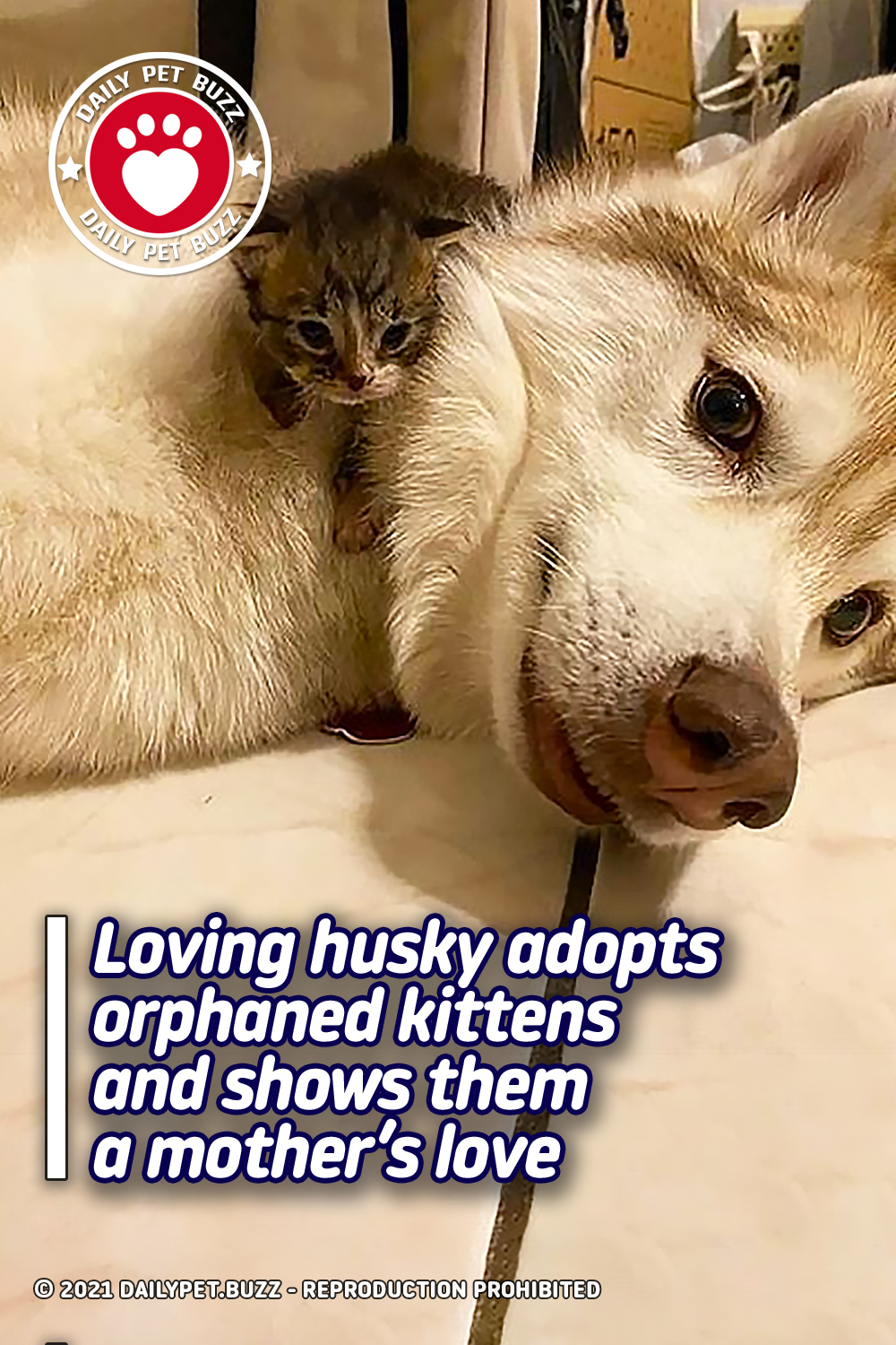 Loving husky adopts orphaned kittens and shows them a mother's love