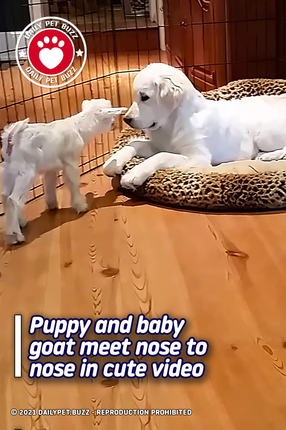 Puppy and baby goat meet nose to nose in cute video