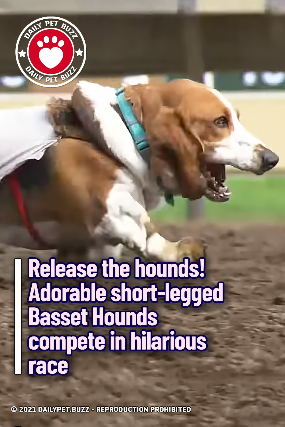 Release the hounds!  Adorable short-legged Basset Hounds compete in hilarious race