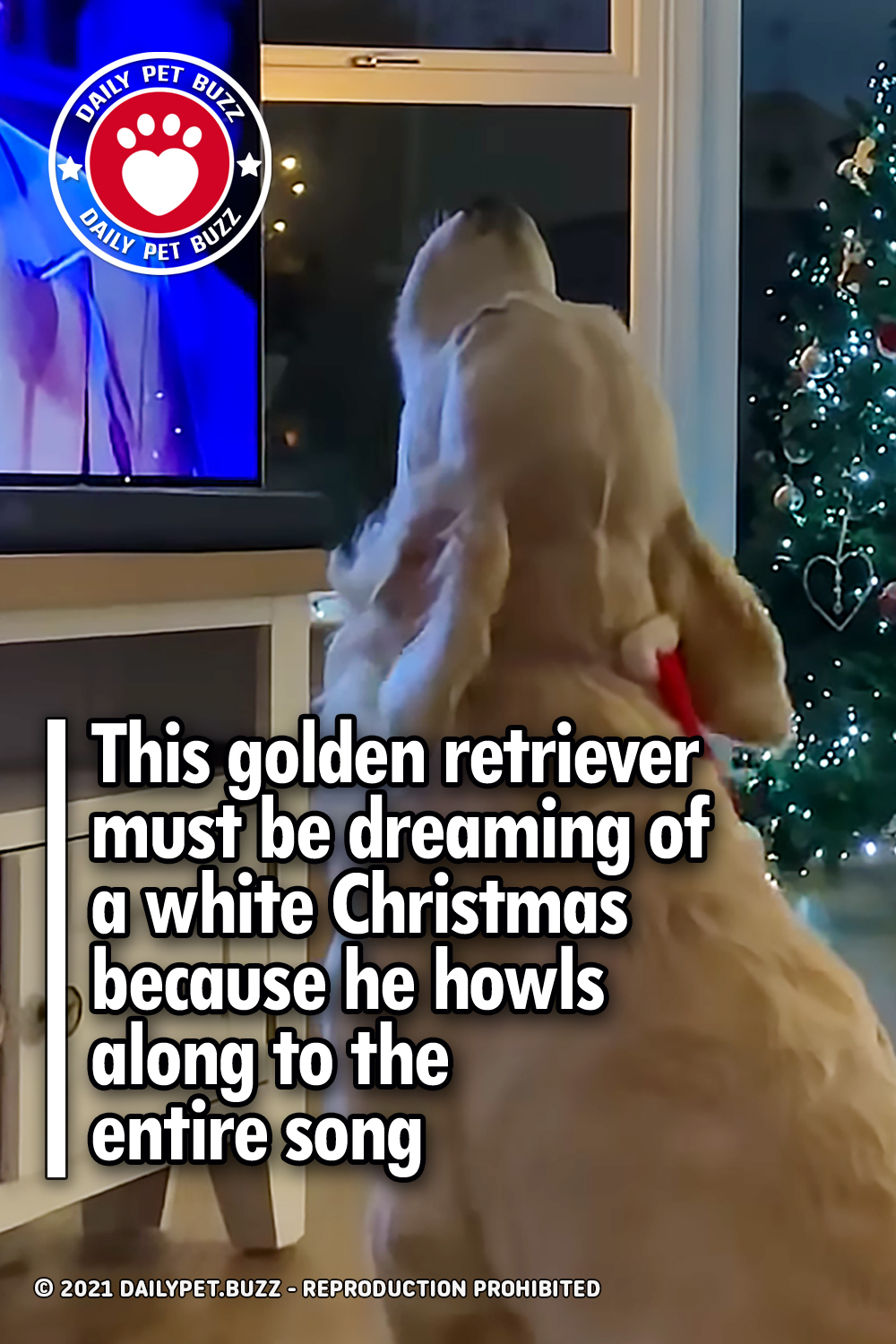 This golden retriever must be dreaming of a white Christmas because he howls along to the entire song