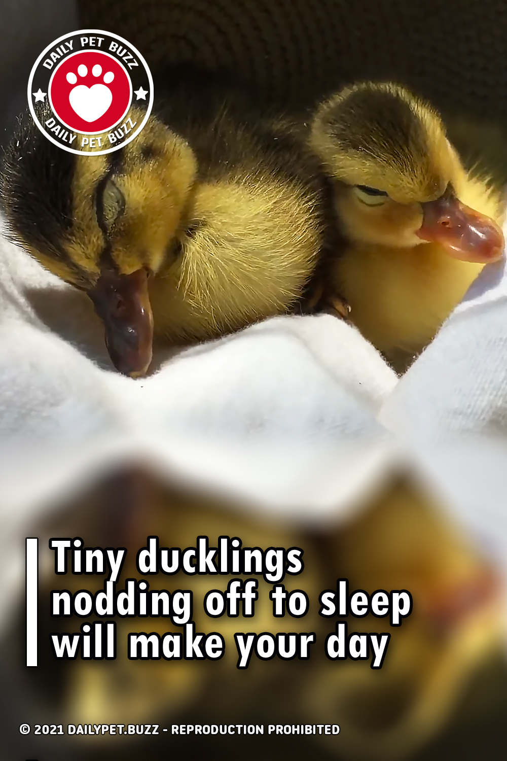 Tiny ducklings nodding off to sleep will make your day