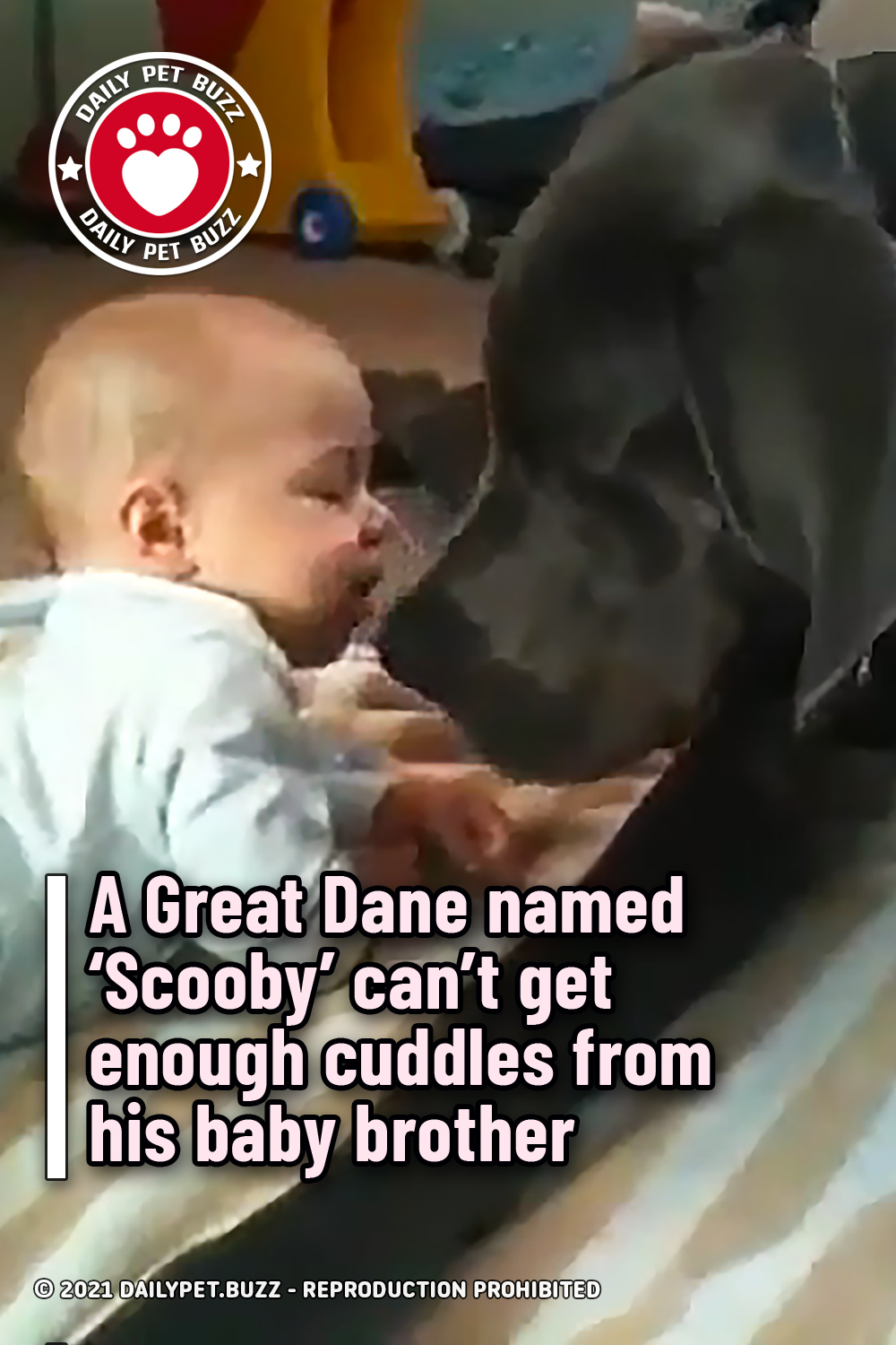 A Great Dane named 'Scooby' can't get enough cuddles from his baby brother