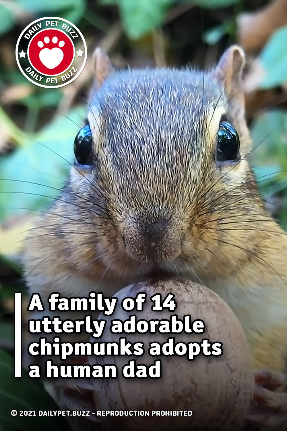 A family of 14 utterly adorable chipmunks adopts a human dad