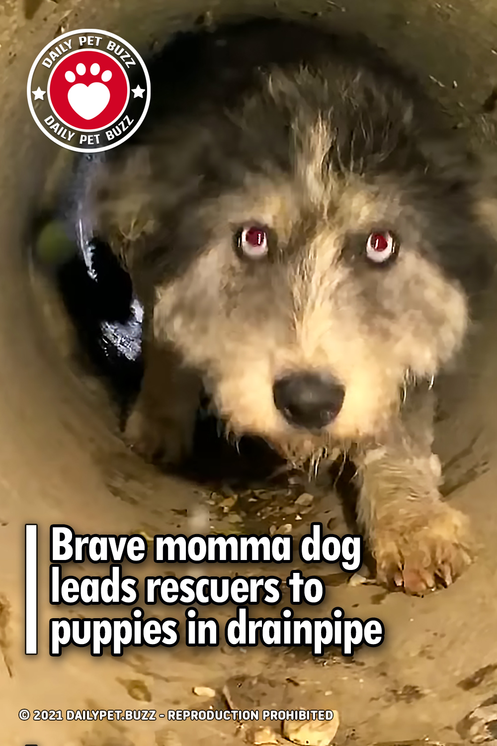Brave momma dog leads rescuers to puppies in drainpipe