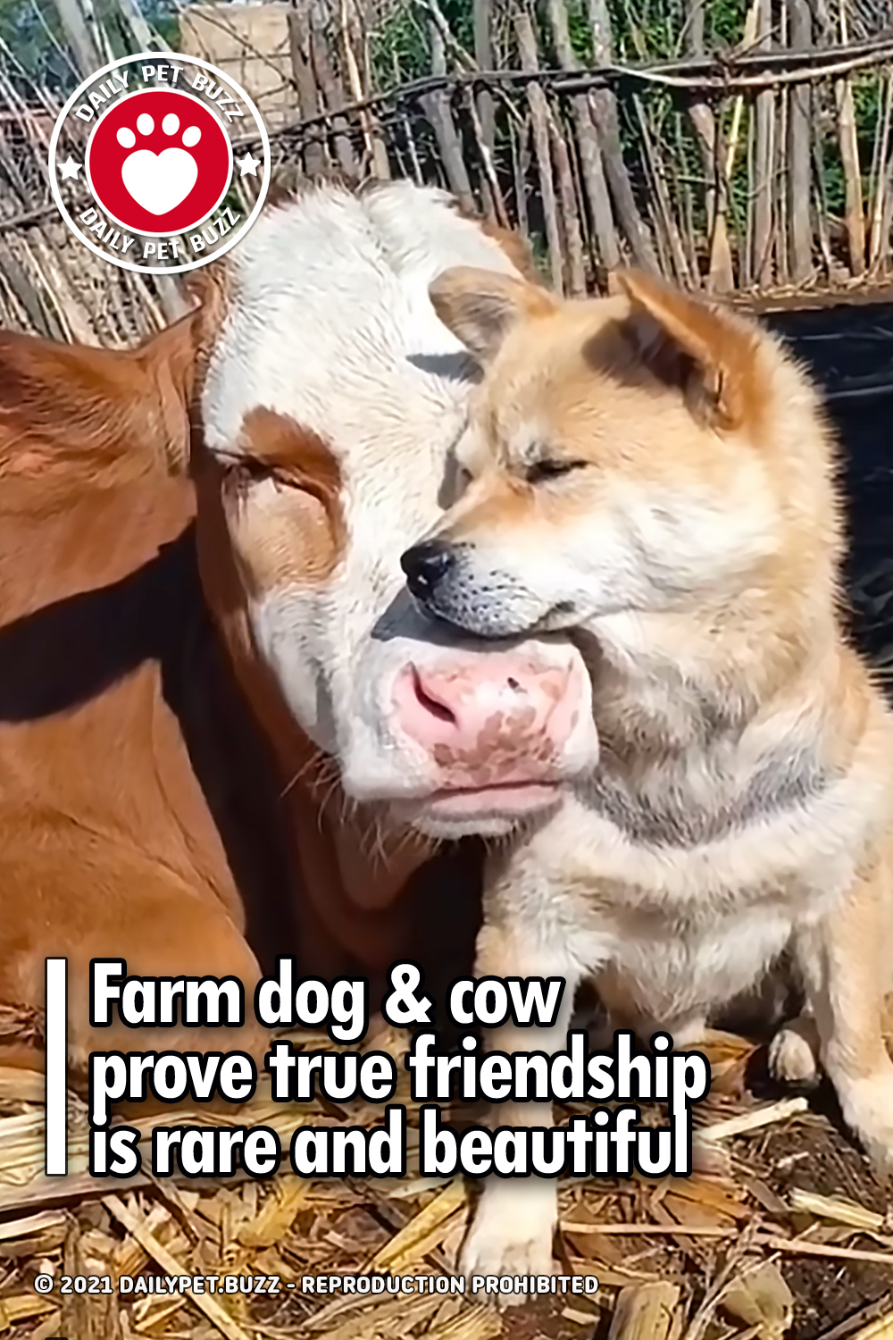 Farm dog & cow prove true friendship is rare and beautiful