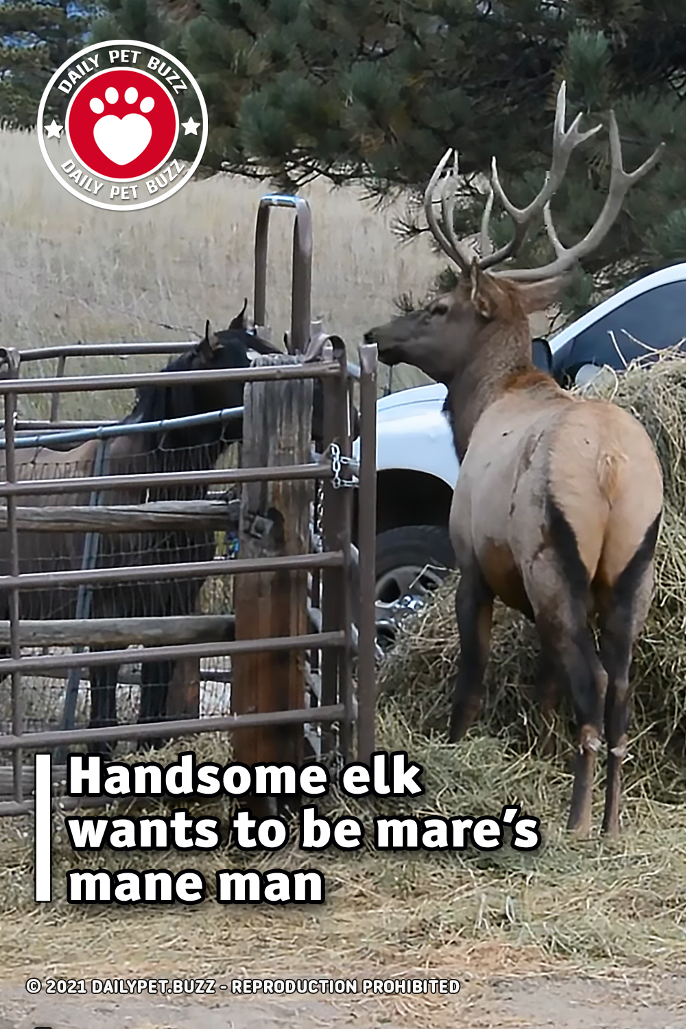 Handsome elk wants to be mare's mane man