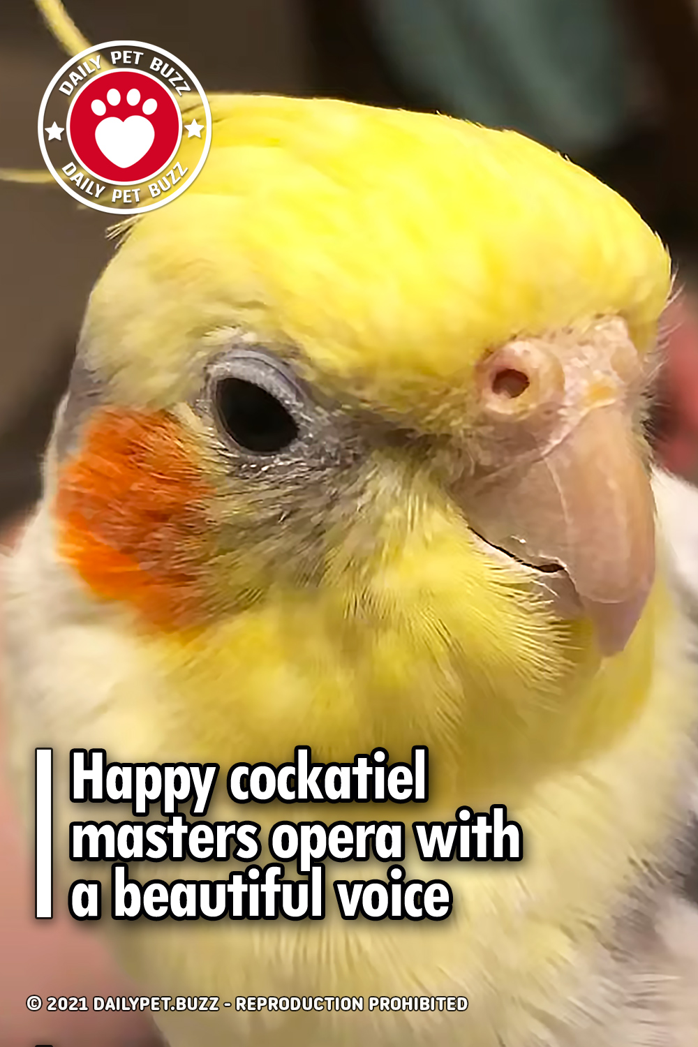 Happy cockatiel masters opera with a beautiful voice