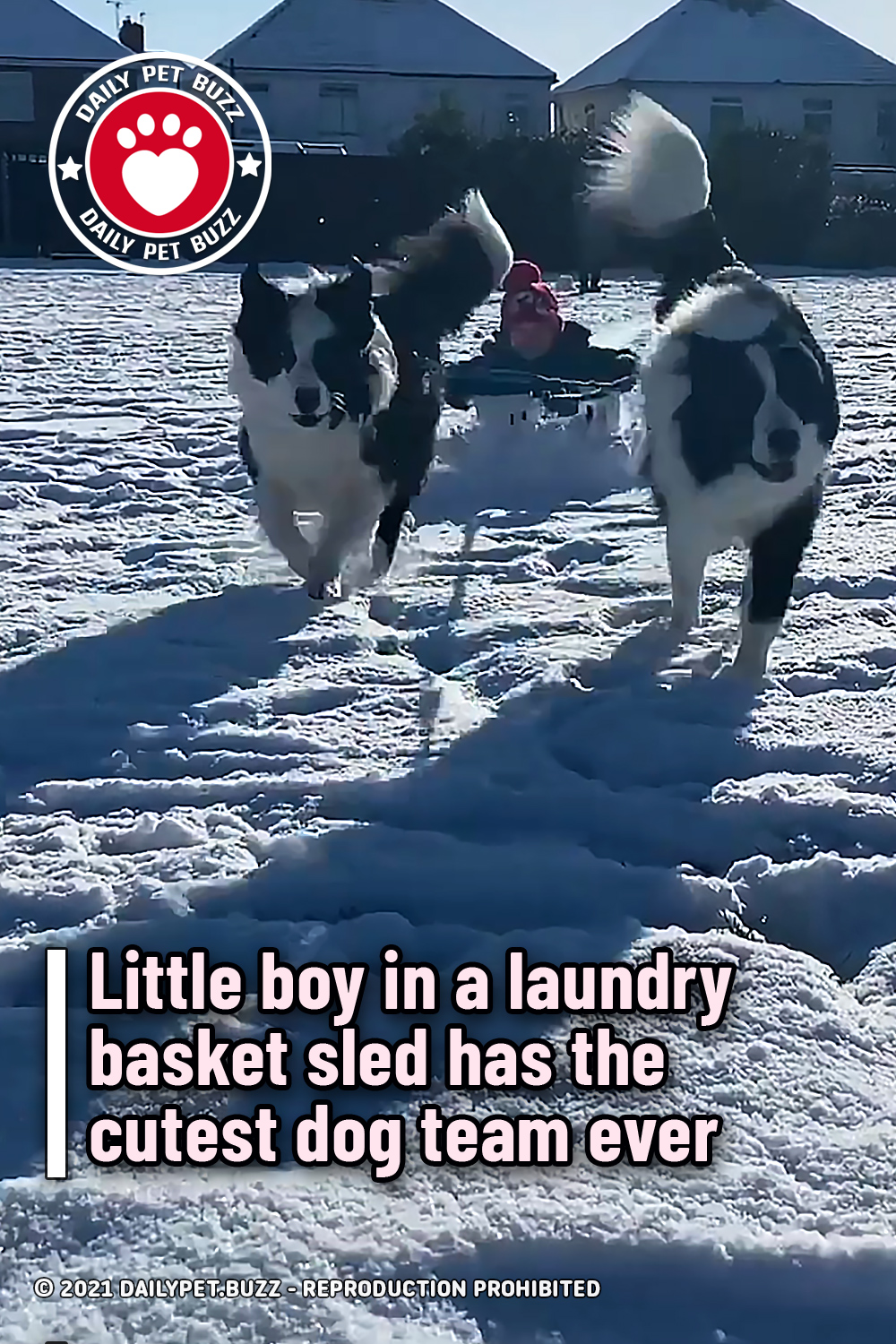 Little boy in a laundry basket sled has the cutest dog team ever
