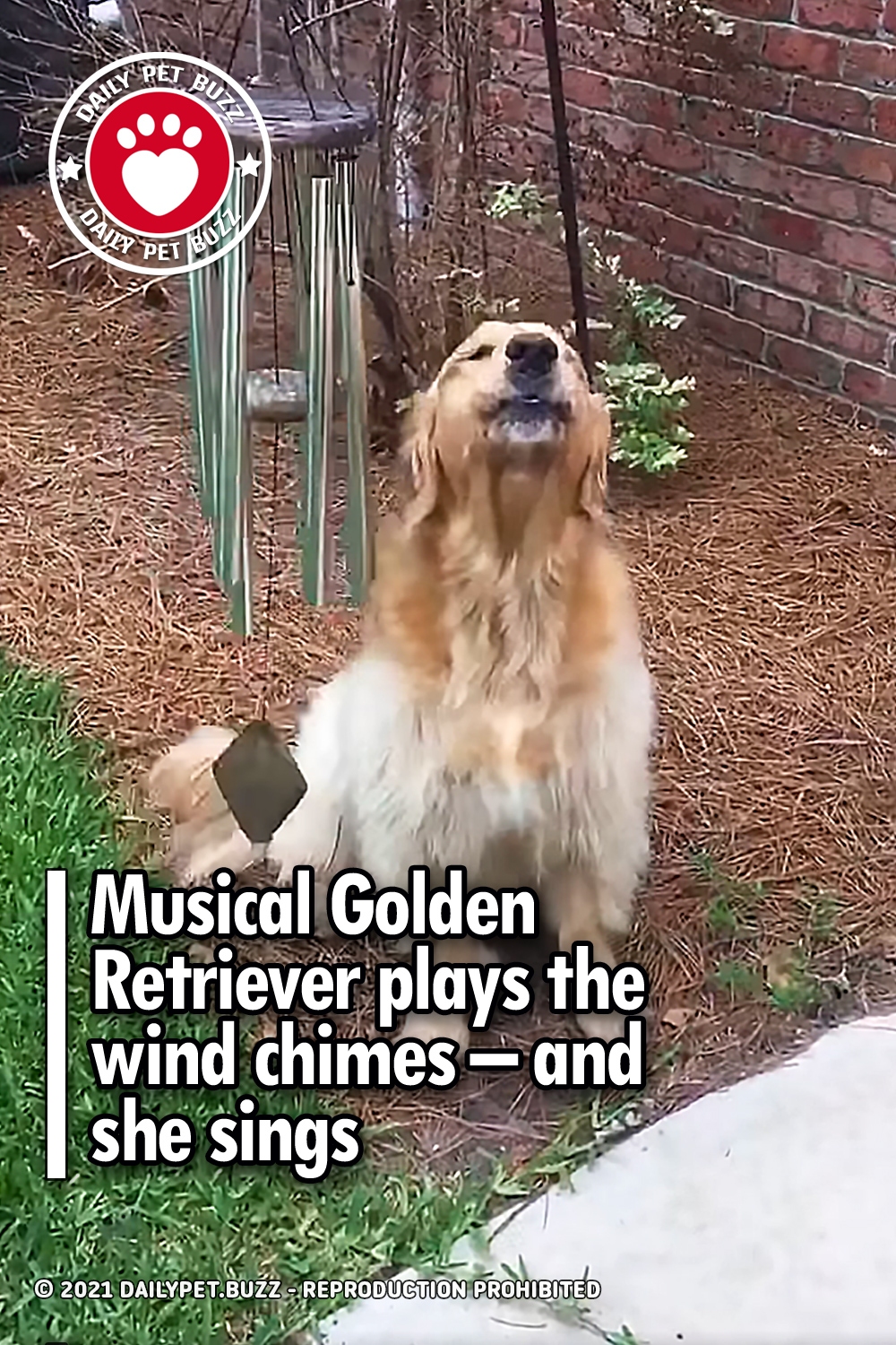 Musical Golden Retriever plays the wind chimes – and she sings
