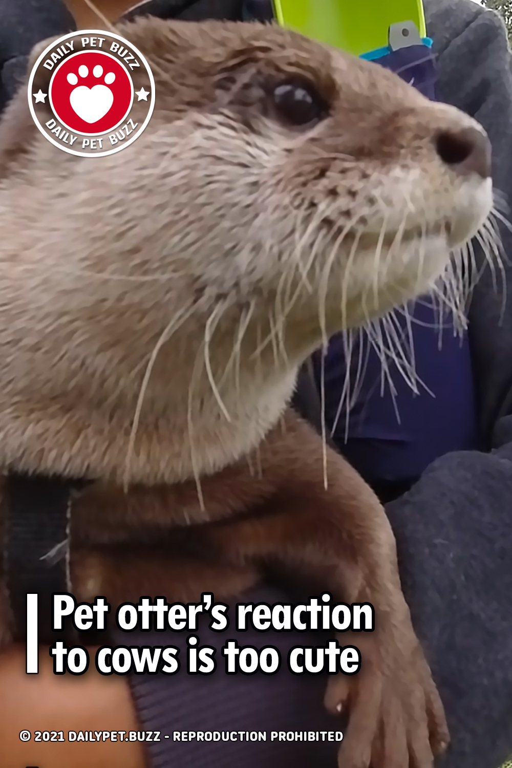 Pet otter's reaction to cows is too cute