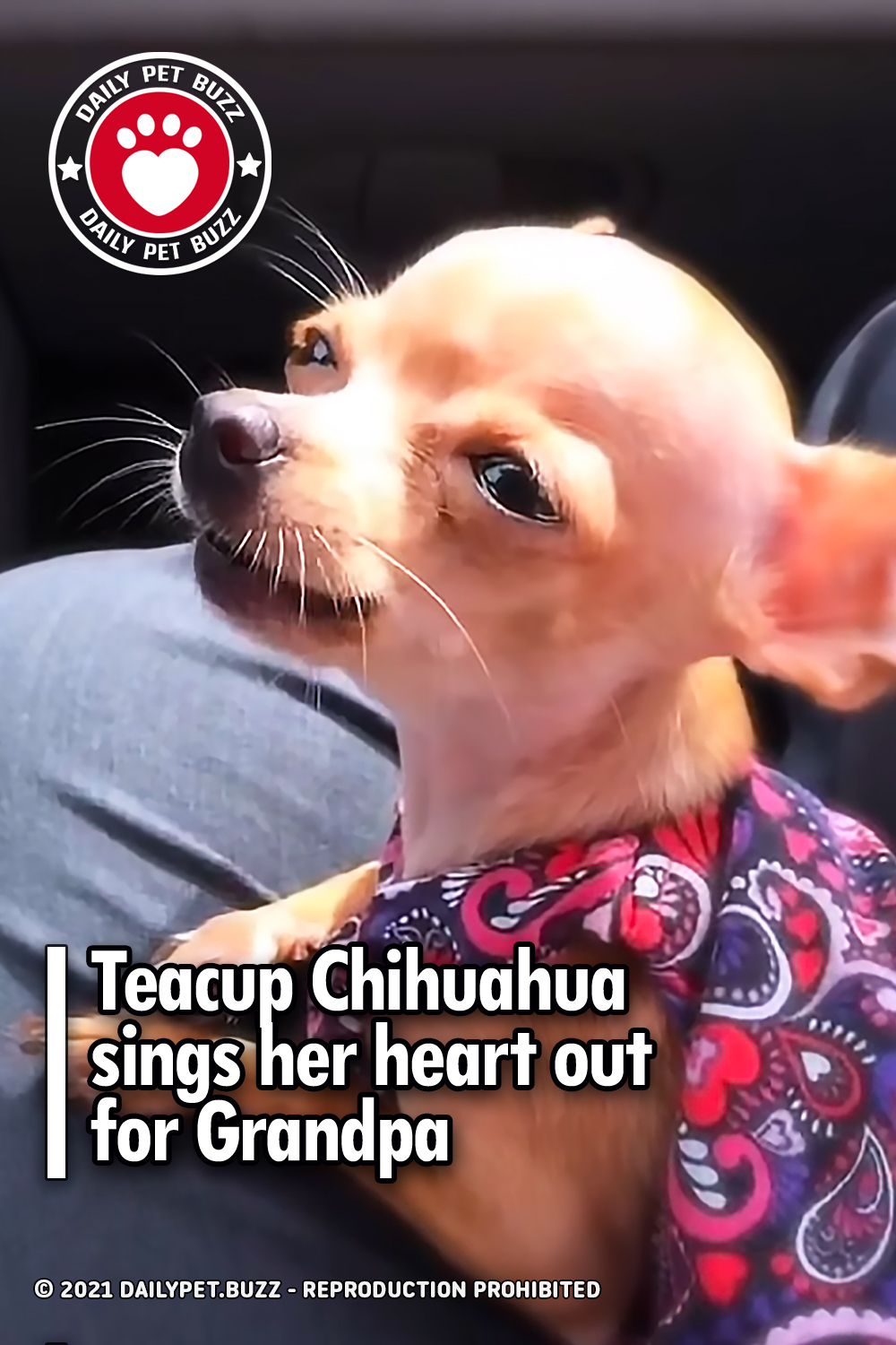 Teacup Chihuahua sings her heart out for Grandpa
