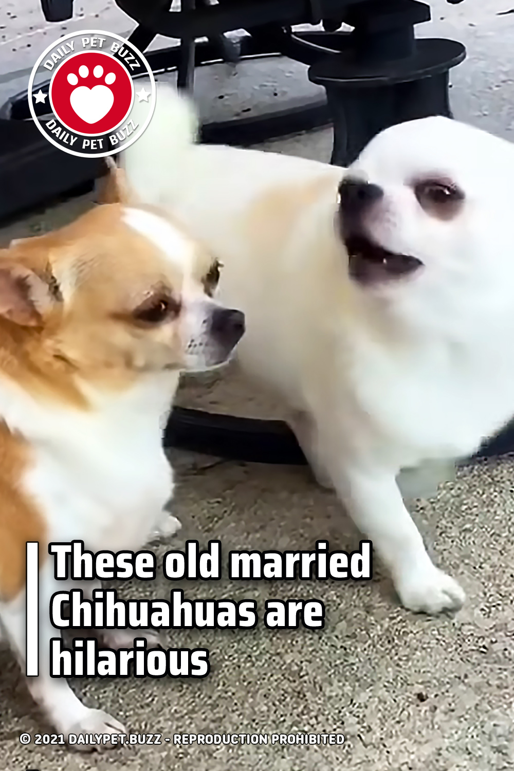 These old married Chihuahuas are hilarious