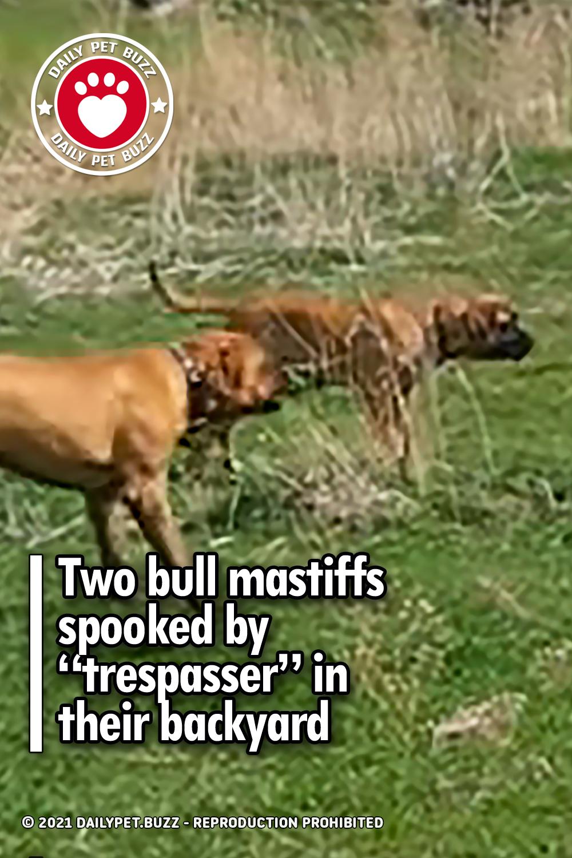 "Two bull mastiffs spooked by ""trespasser"" in their backyard"