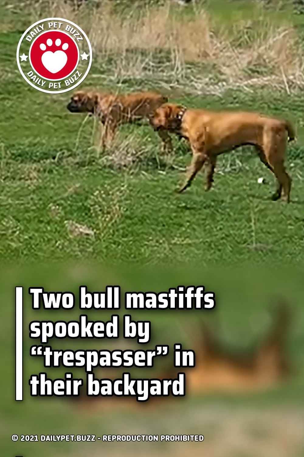 "Two bull mastiffs spooked by ""trespasser"" in their backyard"
