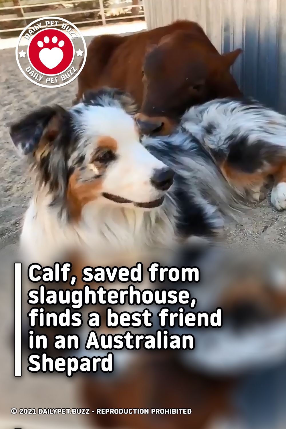Calf, saved from slaughterhouse, finds a best friend in an Australian Shepard