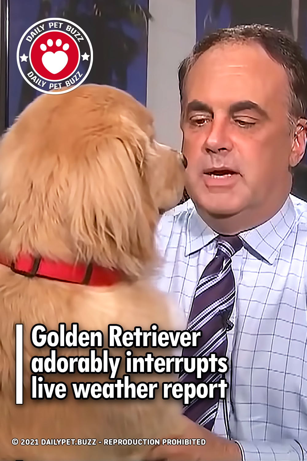 Golden Retriever adorably interrupts live weather report