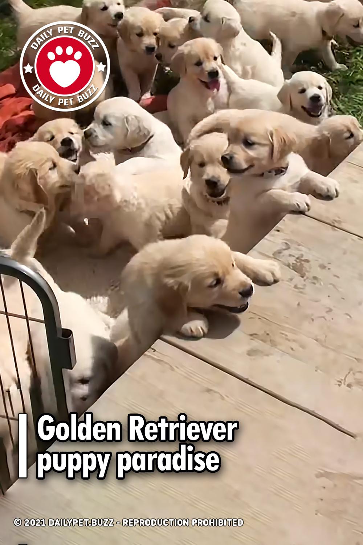 Golden Retriever puppy paradise