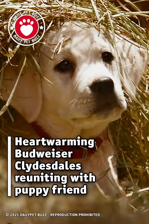 Heartwarming Budweiser Clydesdales reuniting with puppy friend