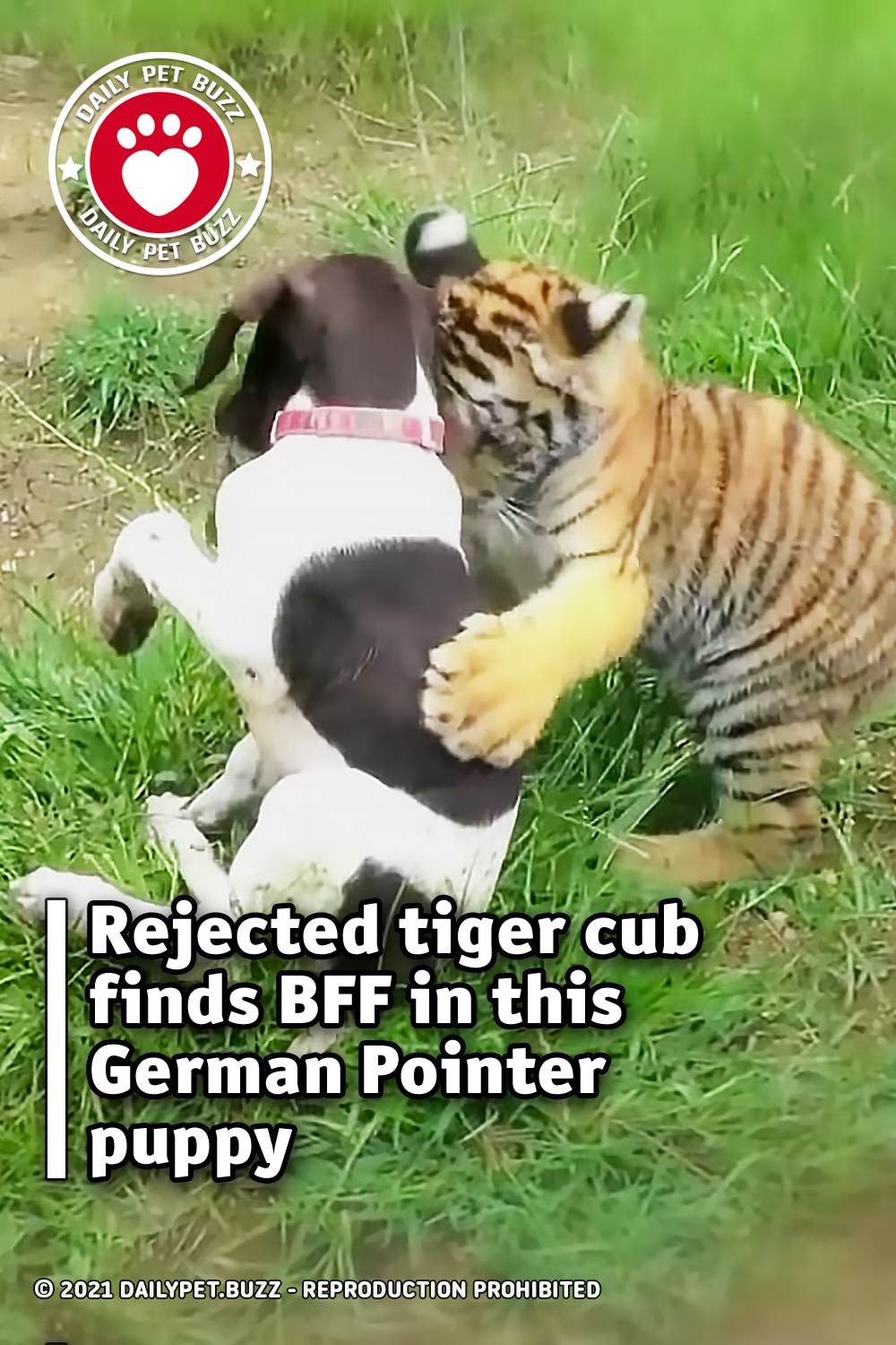 Rejected tiger cub finds BFF in this German Pointer puppy