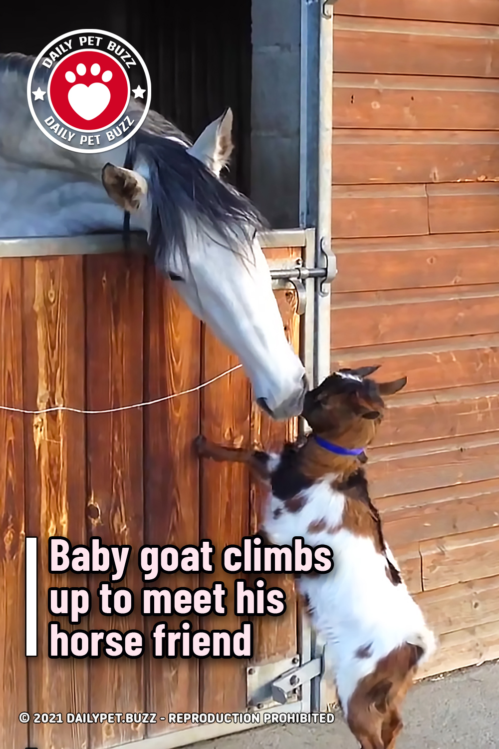 Baby goat climbs up to meet his horse friend