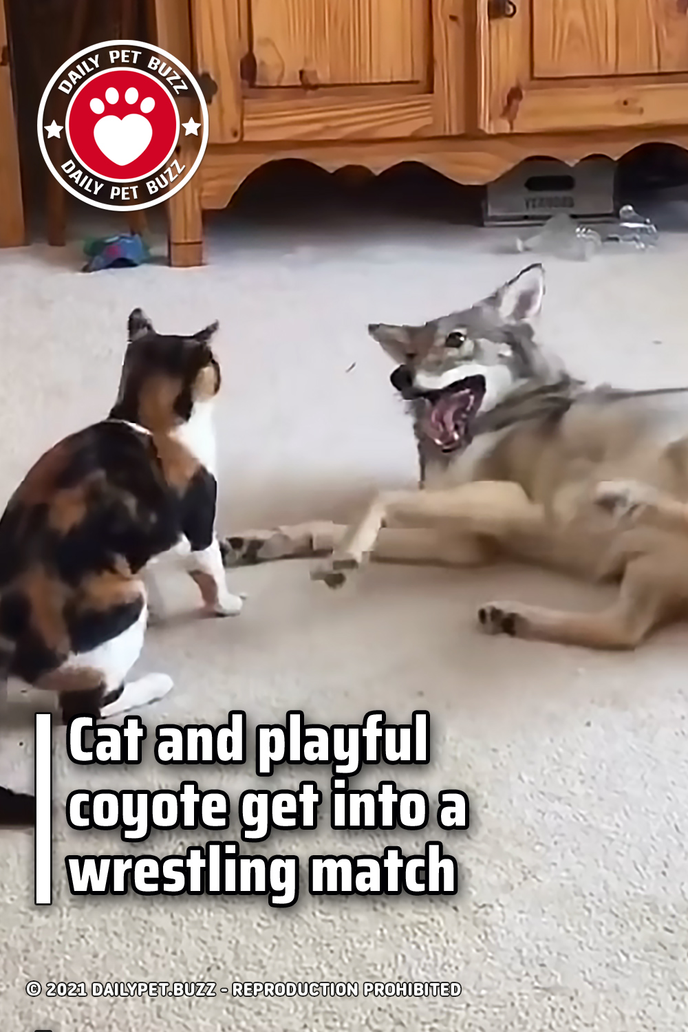 Cat and playful coyote get into a wrestling match