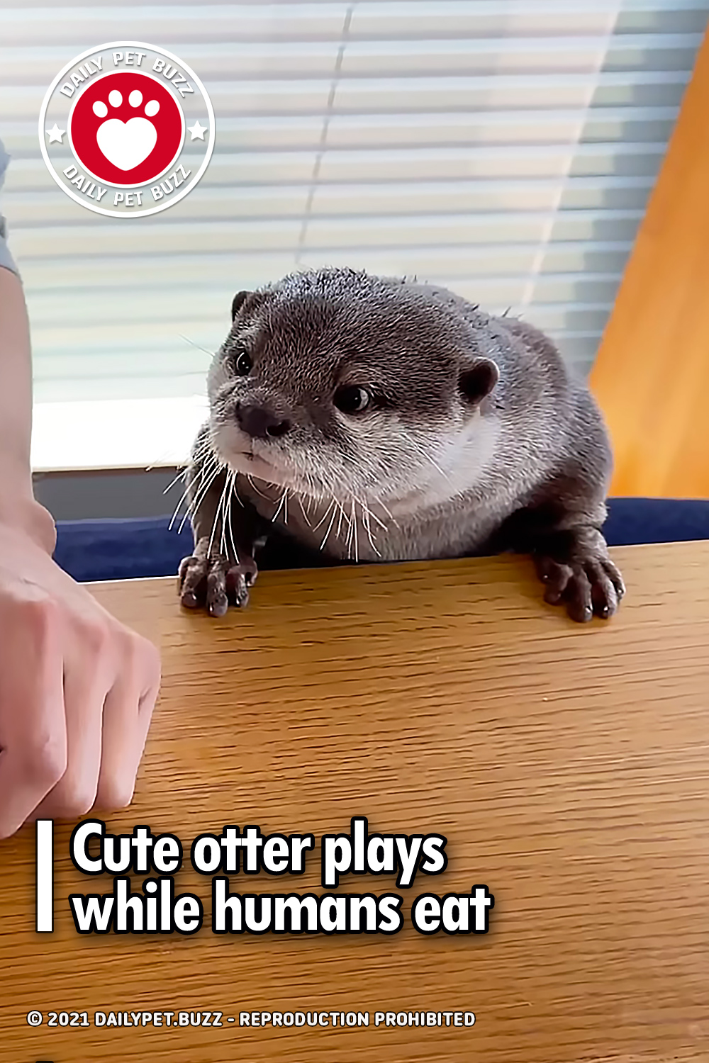Cute otter plays while humans eat