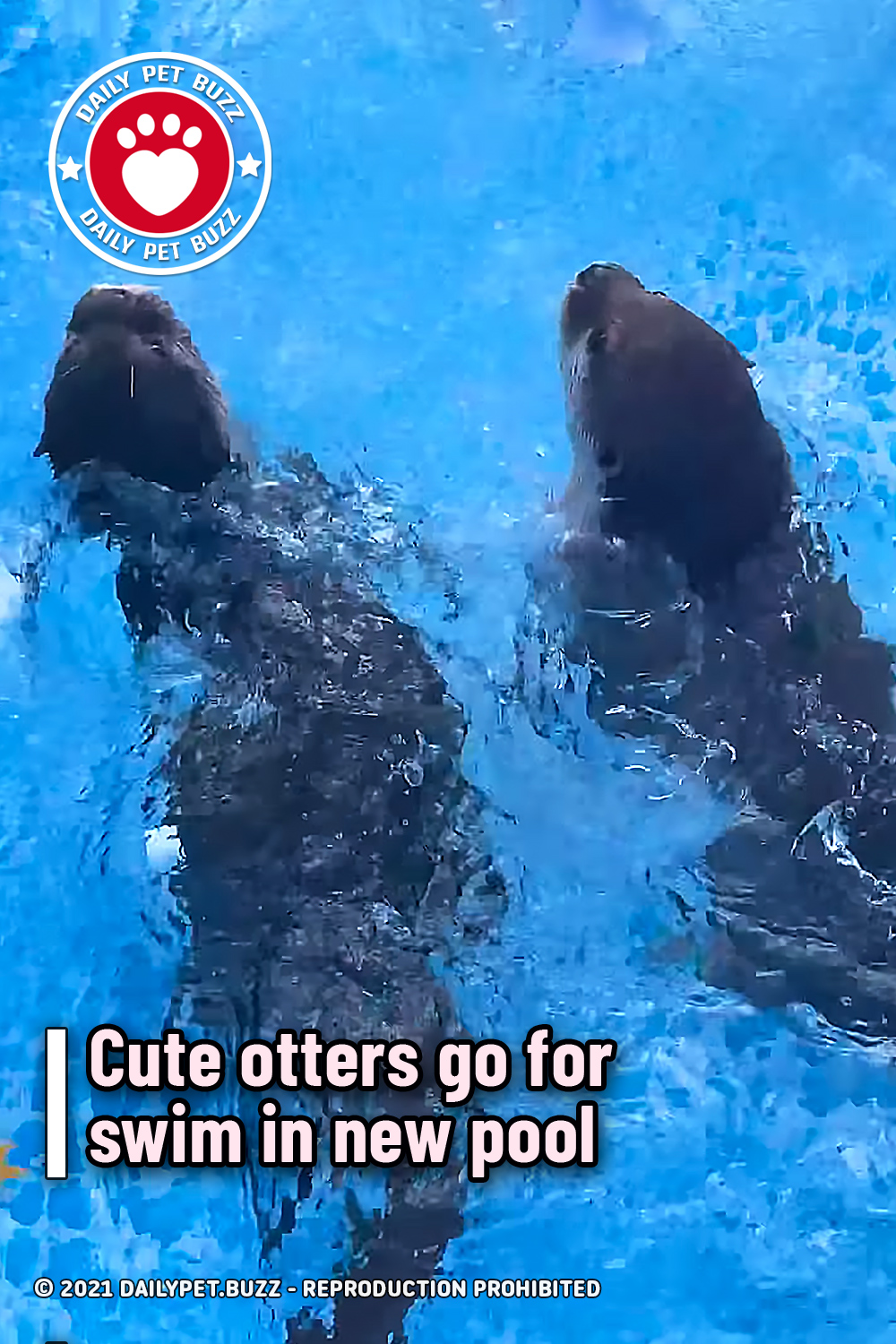 Cute otters go for swim in new pool