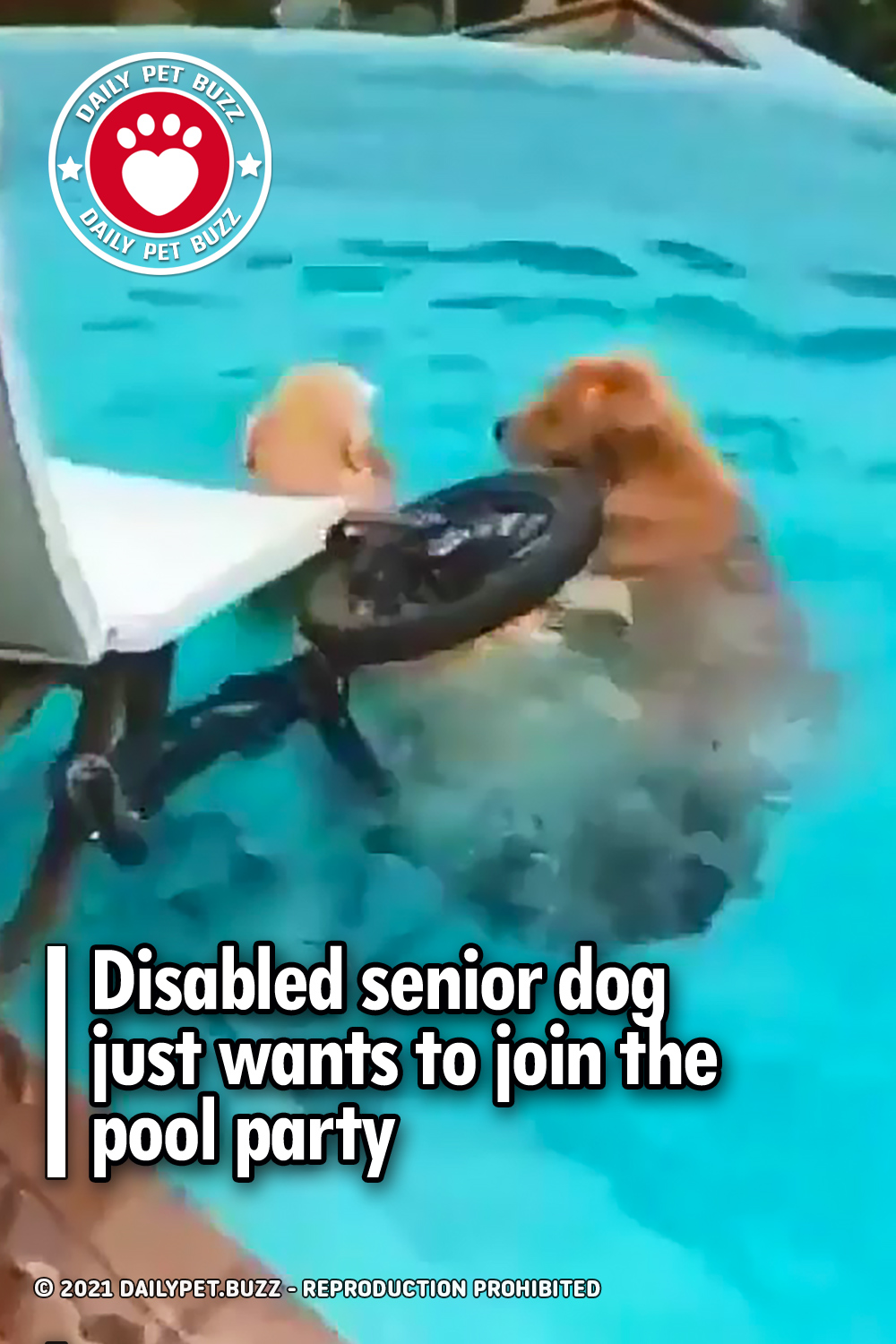 Disabled senior dog just wants to join the pool party