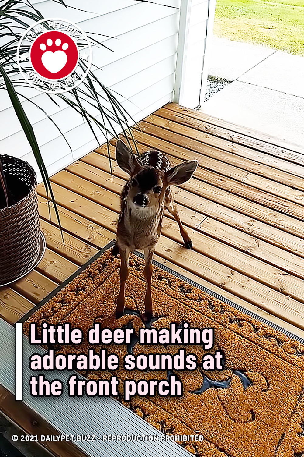 Little deer making adorable sounds at the front porch