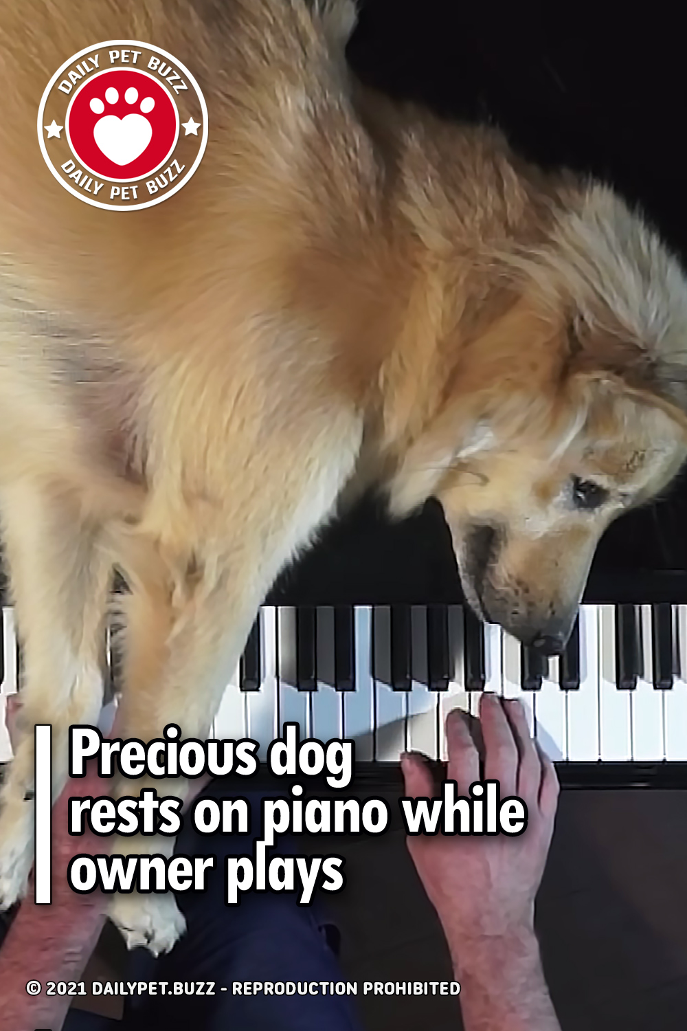 Precious dog rests on piano while owner plays