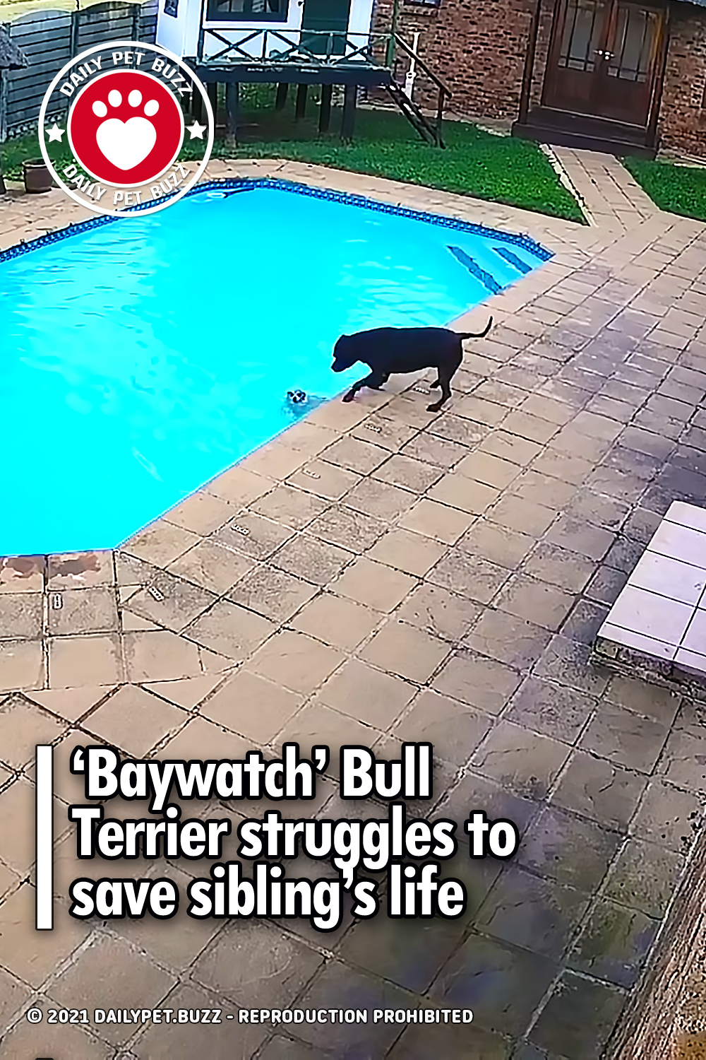 'Baywatch' Bull Terrier struggles to save sibling's life