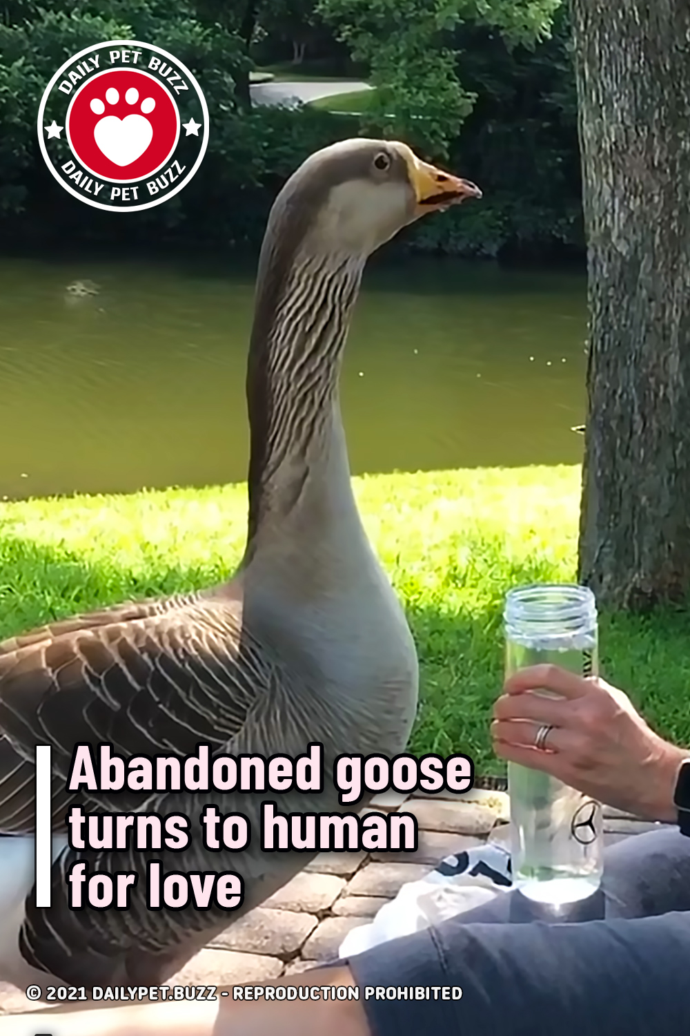 Abandoned goose turns to human for love