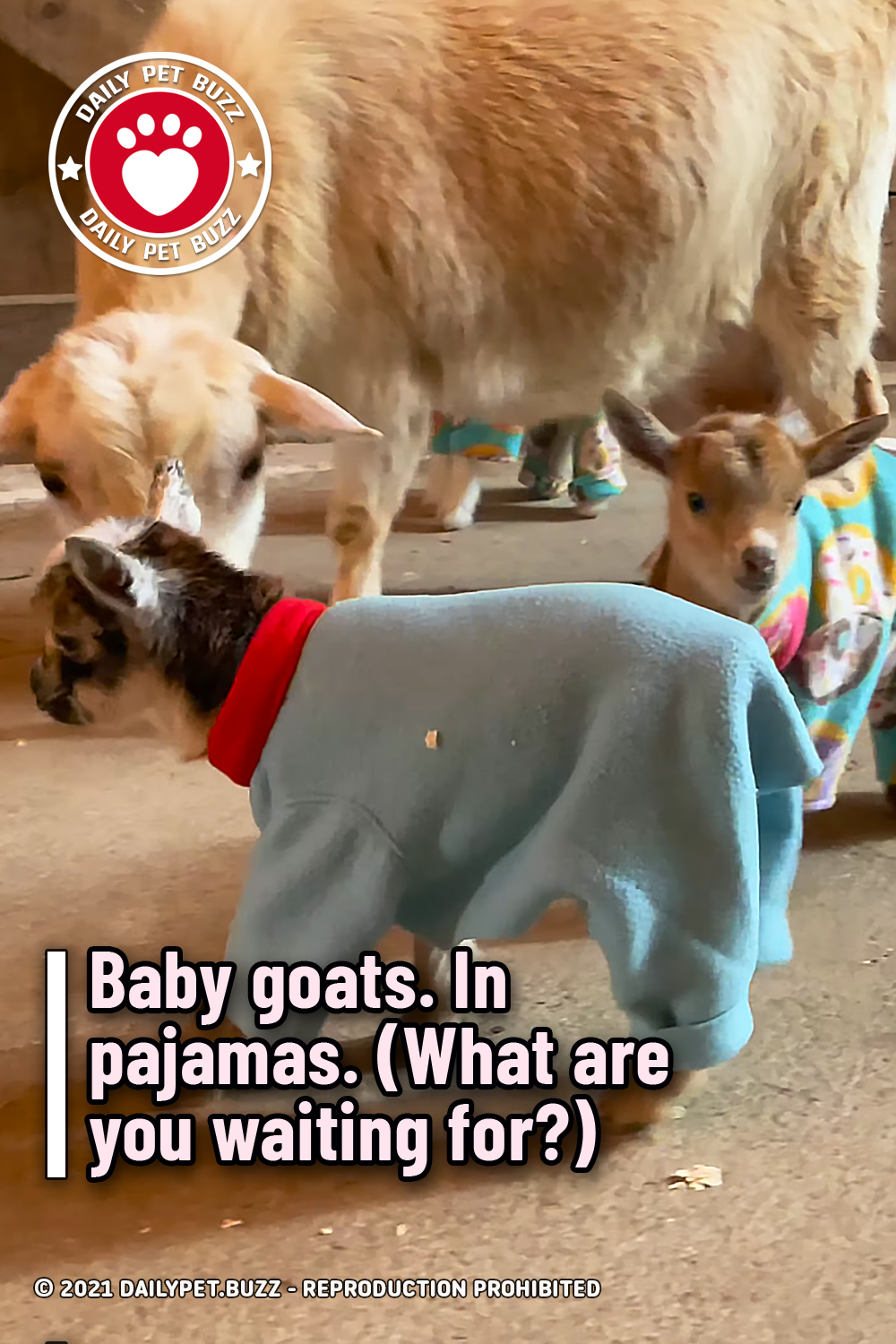 Baby goats. In pajamas. (What are you waiting for?)