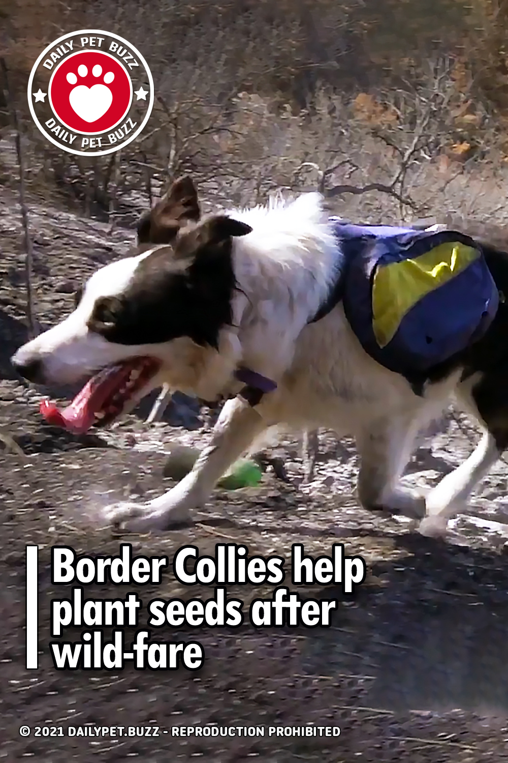 Border Collies help plant seeds after wild-fire
