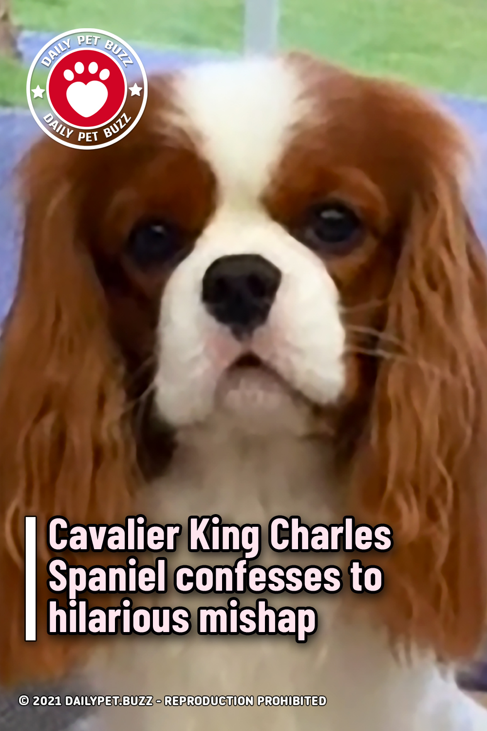 Cavalier King Charles Spaniel confesses to hilarious mishap