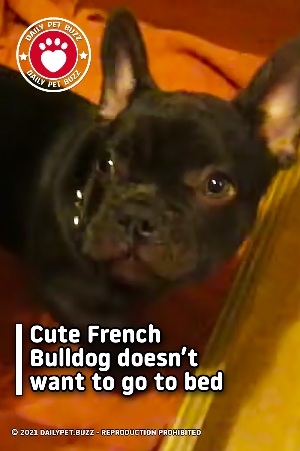 Cute French Bulldog doesn't want to go to bed