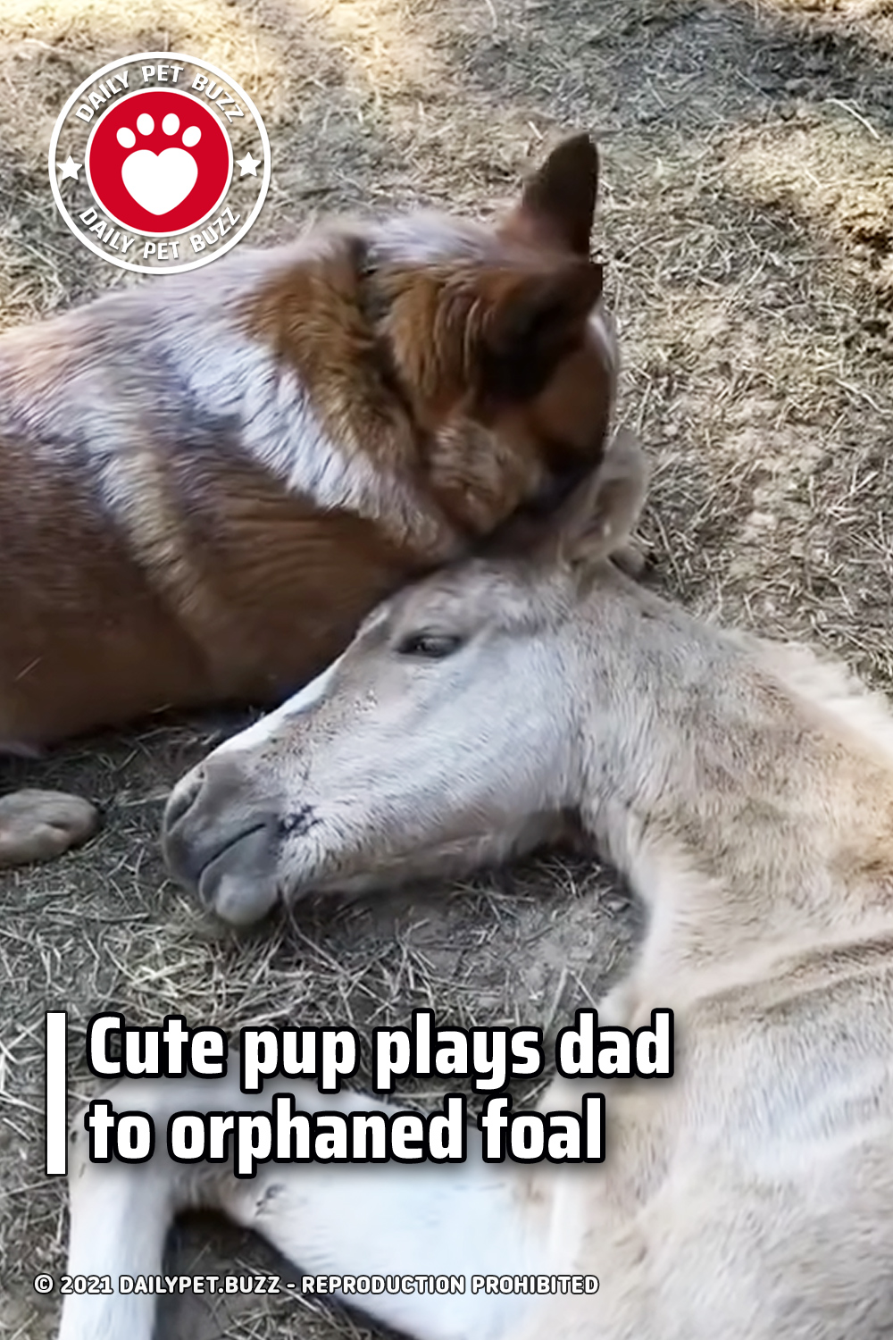 Cute pup plays dad to orphaned foal